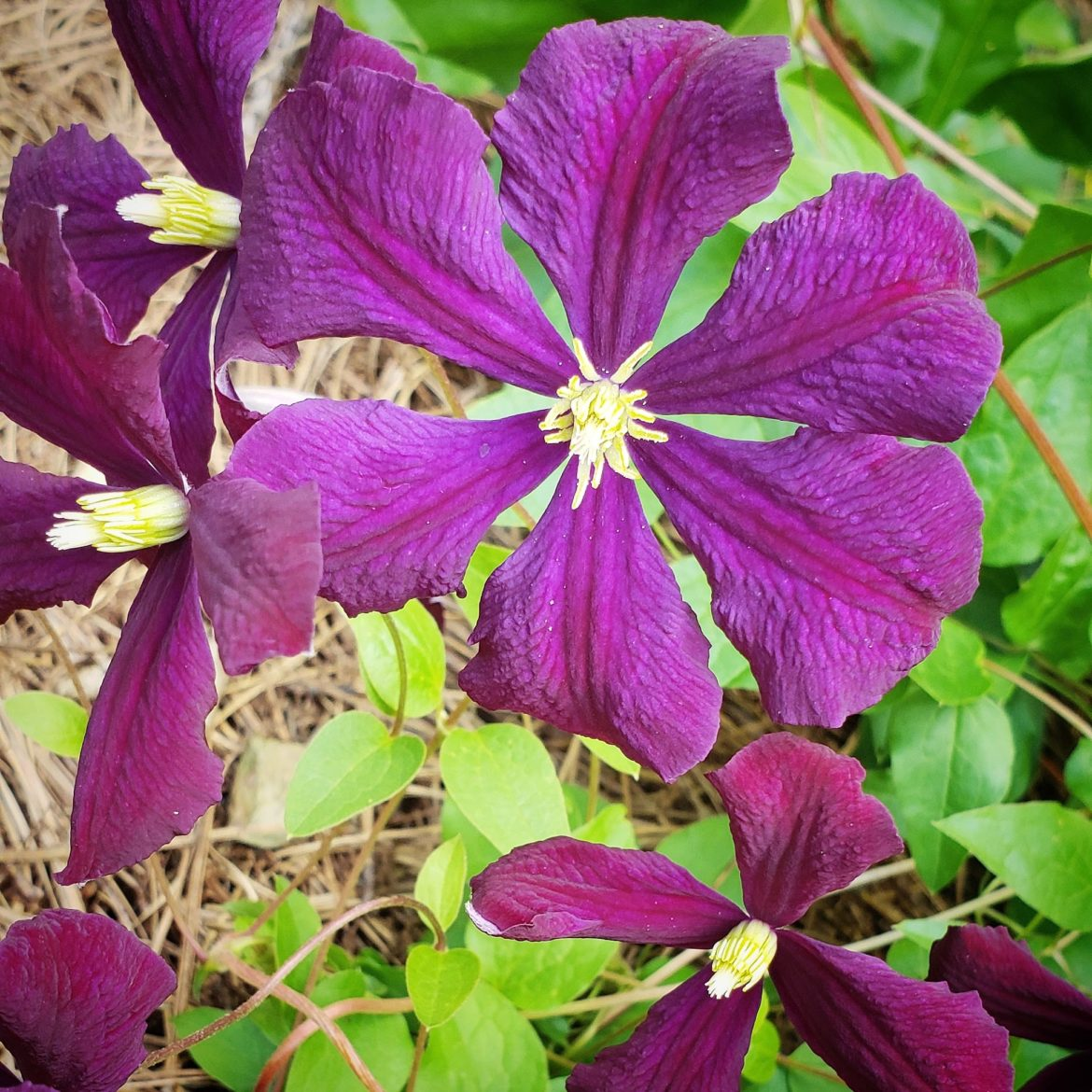 purple flower , flowering vine
