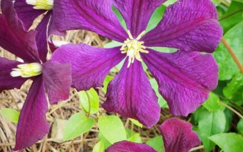 "Clematis ""Jackmanii"" in June Bloom"