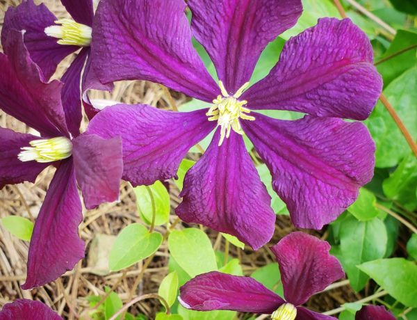 purple flower, flowering vine, clematis, jackmanii, june bloom, gardening, greenery
