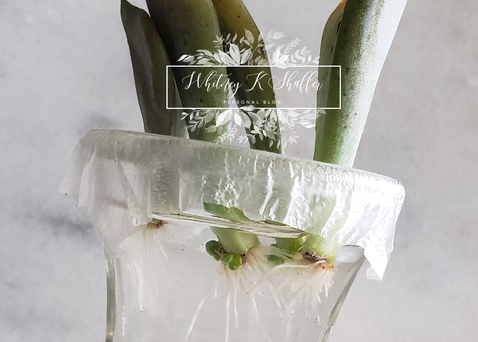How To Succulent Propagation Water Method Whitneykshaffer Com
