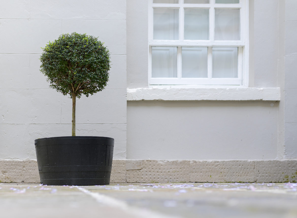 boxwood topiary, topiary, standard topiary, how to, DIY, gardening, natural
