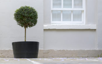 How To Start A Boxwood Standard Topiary