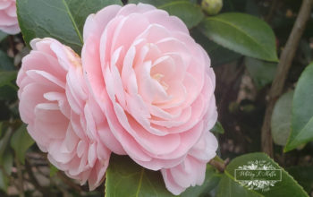 Attending The 9th Annual Chattahoochee Valley Camellia Society Show
