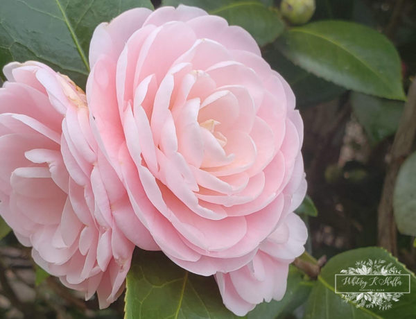 camellia show, Pink perfection, camellia, pretty flower, pink flower, pink perfection, gardening, greenery, pretty