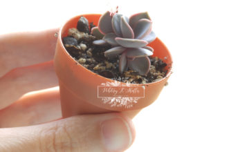 How To Choose The Best Leaves For Succulent Propagation