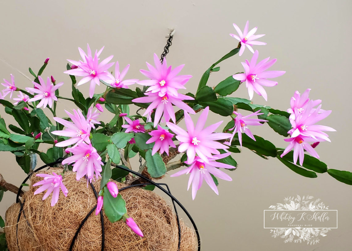 How To Care For Easter Cactus (Hatiora Gaertneri), how to care for, garden, hanging basket, pink cactus