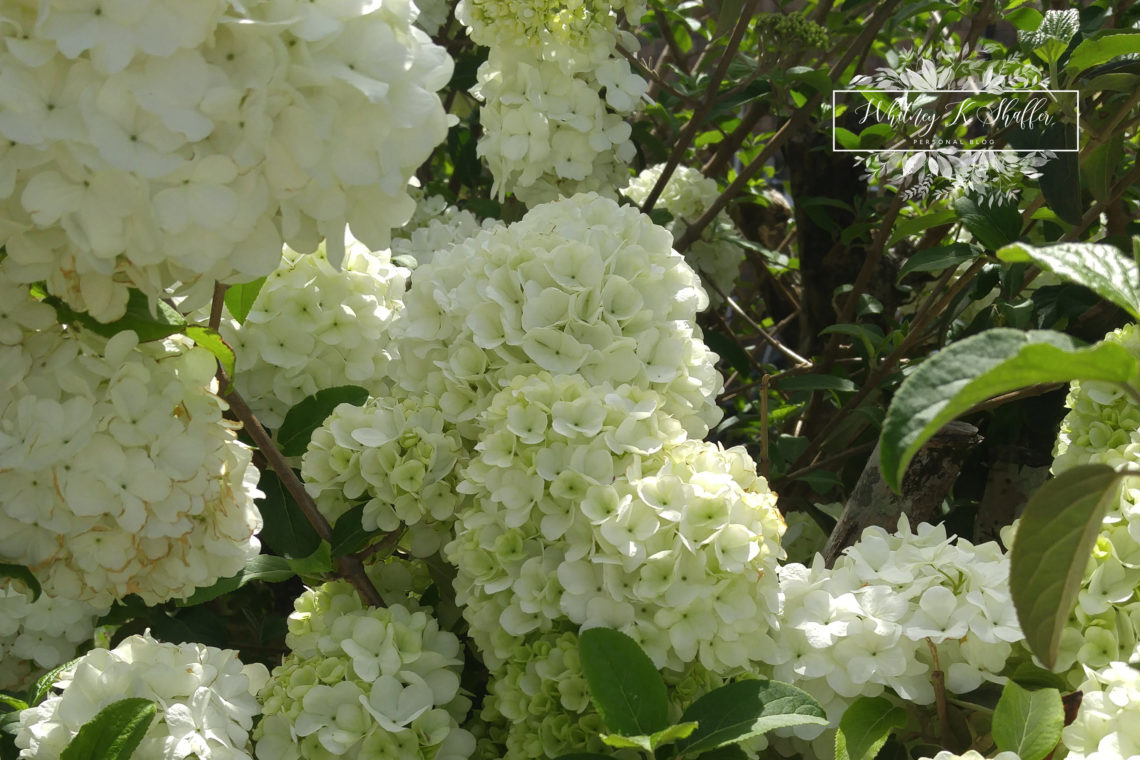 gardening, Mother's Day, gift, present, Whitney K Shaffer, blooms, pretty flowers, white flowers, white snowball virburnum bush