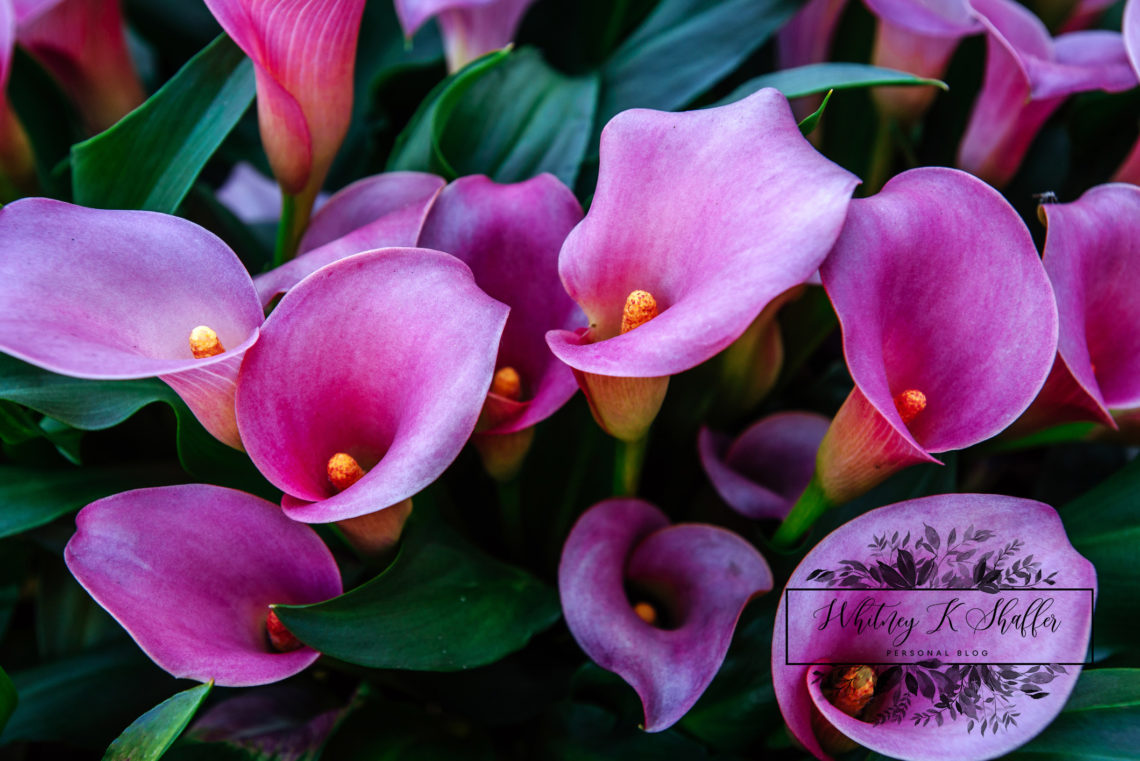calla lilies, purple flowers, tips to garden, how to, flowers, herbs, pretty, natural, power of purple, Whitney Shaffer