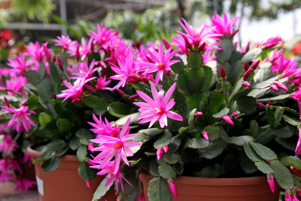 Pink flowering Easter Cactus (Hatiora Gaertneri) in pots