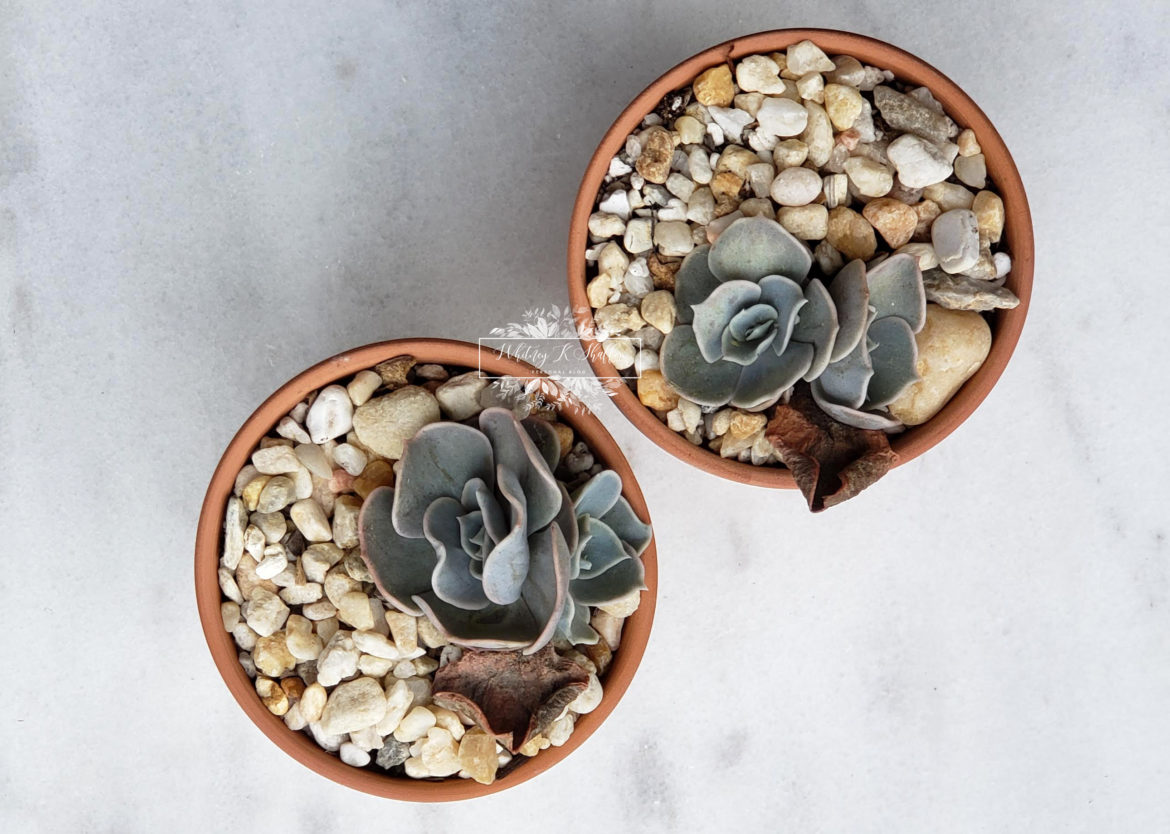 Leave the leaf attached to the propagated succulent as long as possible so that it can absorb as many nutrients as possible from it's Mother leaf.