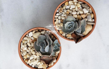 Succulent propagation, soil method, gardening, natural, blooms, Whitney Shaffer, pinterest