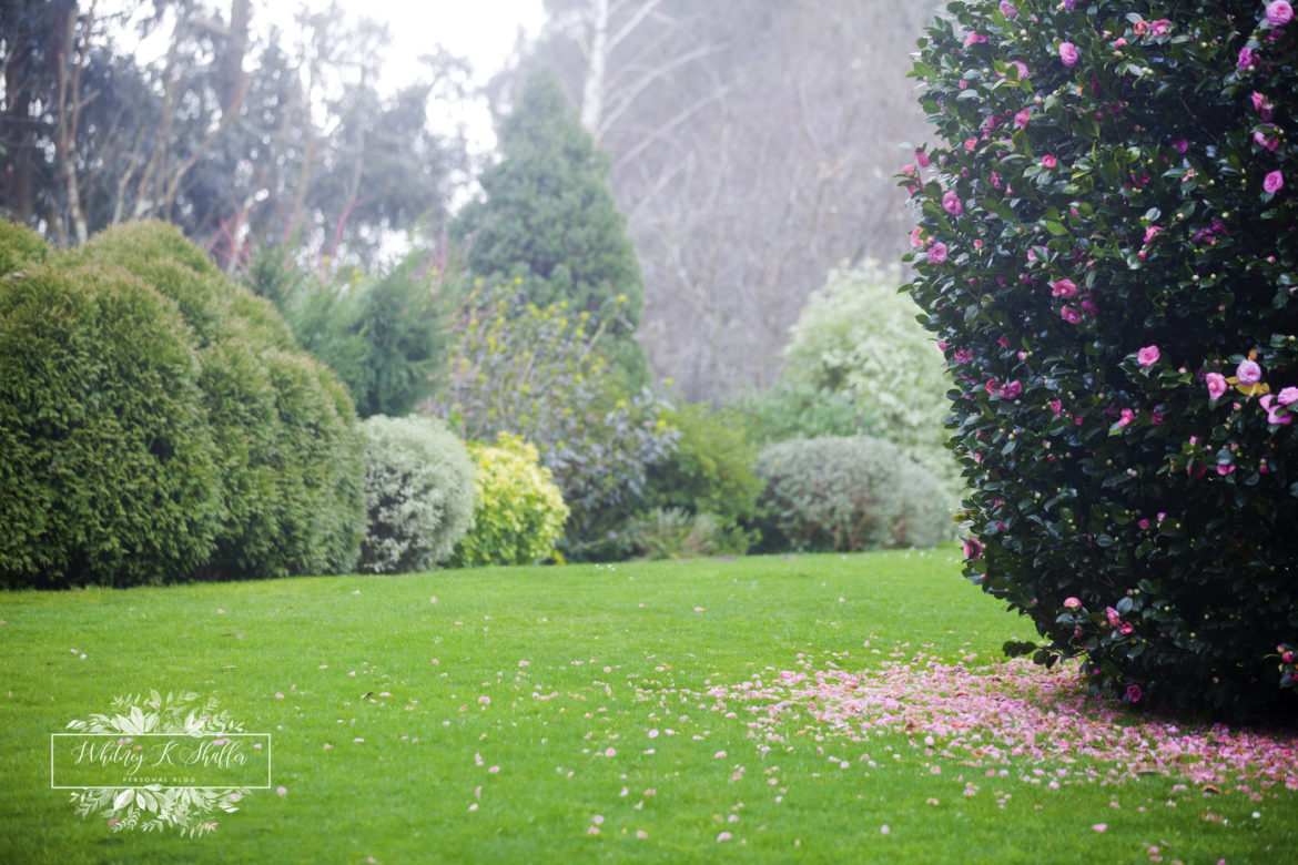 flowering camellia evergreen, gardening, natural, succulents, pink flowers, blooming, whitney shaffer