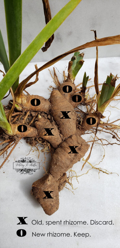 Clump of Iris Rhizomes