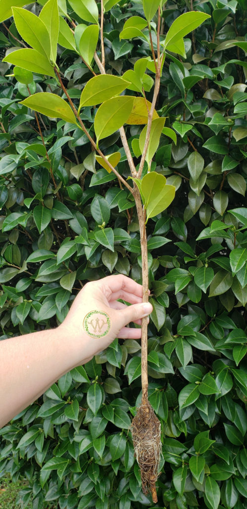 A small camellia plant cut from the parent plant