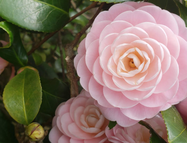 "Camellia Japonica ""Pink Perfection"""
